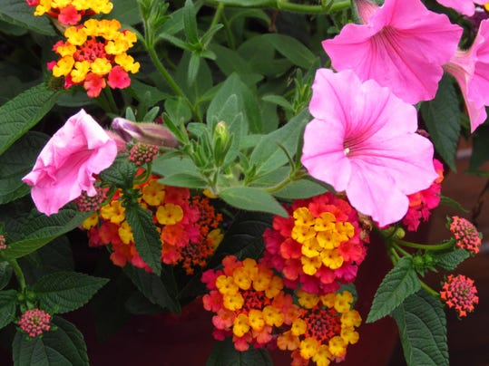An example of some nicely-deadheaded Lantana and Petunias.