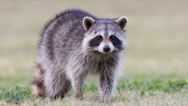 Raccoon droppings are considered toxic and hazardous.