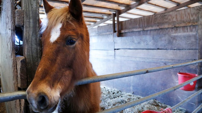 Ginger, a 10-year-old mare, Tuesday, March 24, 2015, at Indiana Horse Rescue in Frankfort. Ginger and two other horses were removed from a property in Williamsport on March 6. Although the horses show signs of neglect, because they had access to some food and water, it appears the owner did not violate Indiana's animal neglect law.