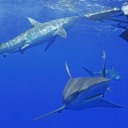 Galapagos sharks huddle in the ocean during a shark viewing expedition with Hawaii Shark Encounters off Oahu's North Shore on July 16, 2015.