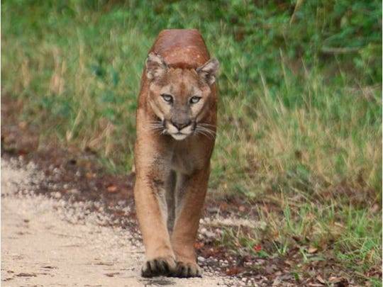 A panther strolls along an unpaved roadway. The state
