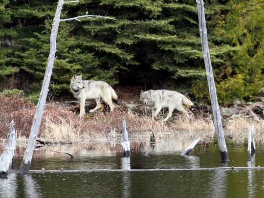 In this February 2012 photo provided by George Desort, two gray wolves walk in the Isle Royale National Park in Northern Michigan.