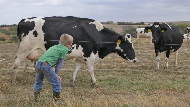 Chase Hildebrand-Reed, 6, talks to the cows at Hildebrand Farms.