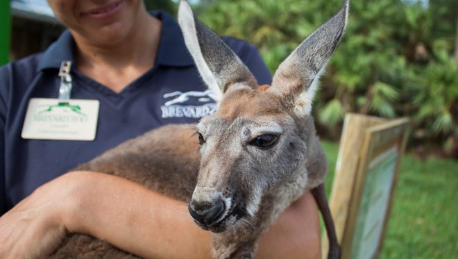 Lilly, a joey who was abandoned by her mother in January, is now strong enough to rejoin her mob at the Brevard Zoo.