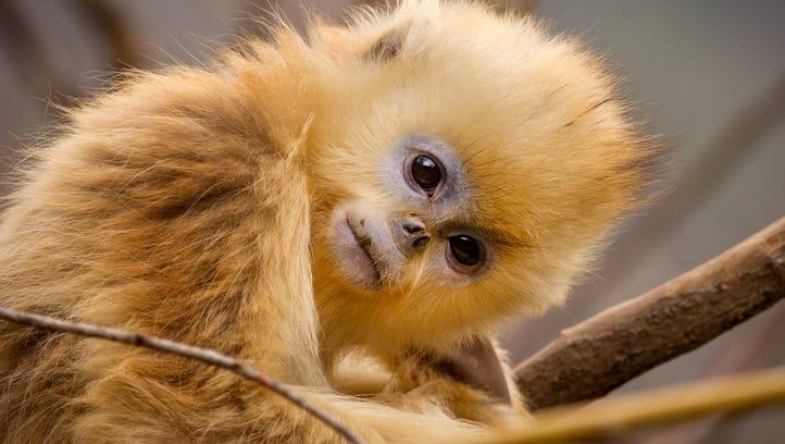 TaoTao, a golden snub-nosed monkey, becomes an outcast