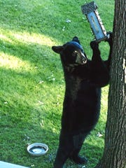 A black bear helps himself to food from a feeder in