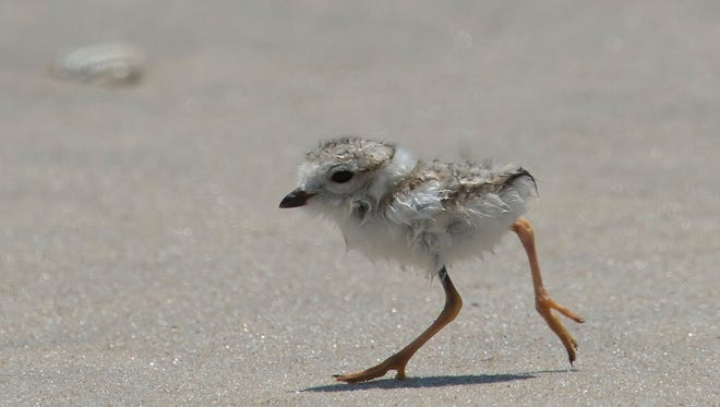 A piping plover chick runs on the beach at Assateague Island.