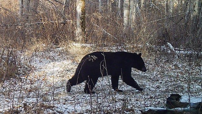 This Nov. 30, 2015 photo  shows a black bear on a trail in Georgia, Vt.  (Norm and Kristina Senna via AP)