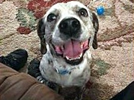 Apollo is a 2-year-old, 30-pound, neutered. male beagle.