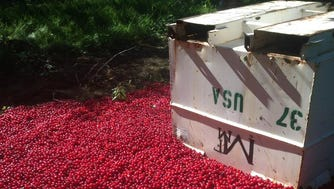Cherries lay on the ground at Santucci Farms in Traverse City on Tuesday, July 26, 2016, after they were dumped as surplus, part of an industry marketing agreement to help stabilize tart cherry prices.