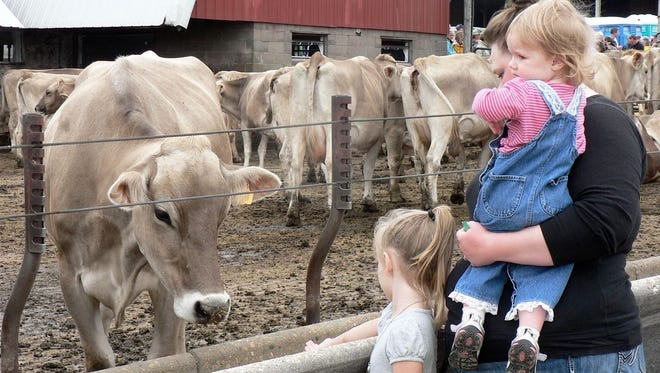 Meeting dairy cows close up.