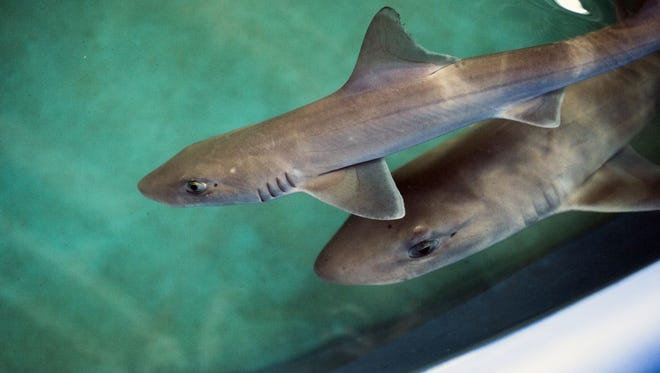 A pair of dogfish swim in a pool inside a laboratory.