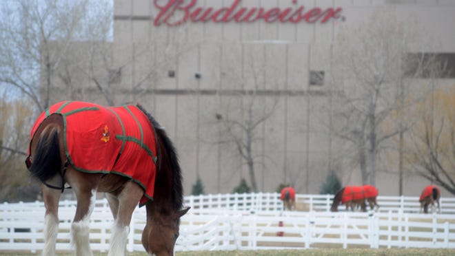 Clydesdales graze at Anheuser-Busch's Fort Collins brewery in this file photo.