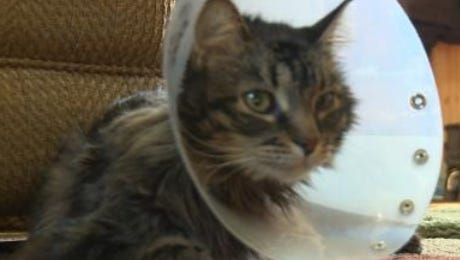 At around 10 p.m., on Monday, Feb. 14, someone shot a cat, named Mouser, while he was outside in its yard on Nehrbass Road, near Athens (town of Halsey). The cat was shot with what is believed to have been a shotgun. As a result of being shot, the cat survived, but had to have its left front shoulder and leg amputated.