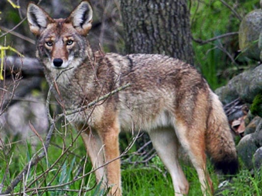 sub-coyote-1213.jpg