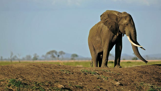 You'll sometimes be mere feet away from elephants, zebras, lions, hippos and other game.