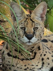Des the serval now lives at the Big Cat Rescue sanctuary