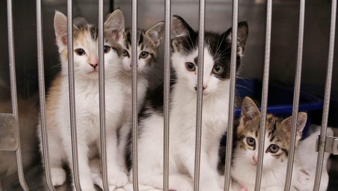 Cats waiting for a new home at Almost Home Humane Society Thursday, October 12, 2017, at 1705 South Second Street in Lafayette.