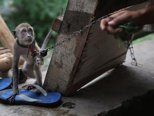 AP Indonesia Monkey Business