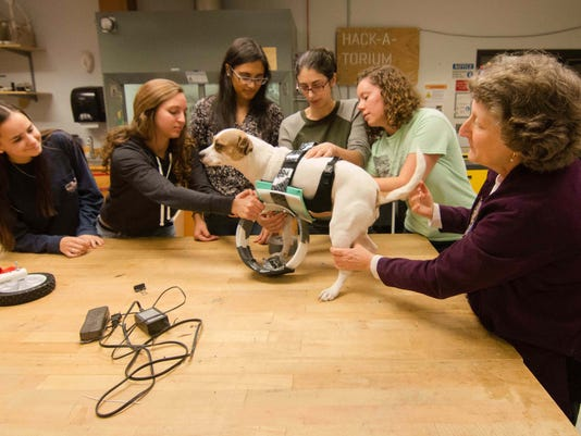 Tika the dog getting fitted for a new prosthetic that's been developed by UD students