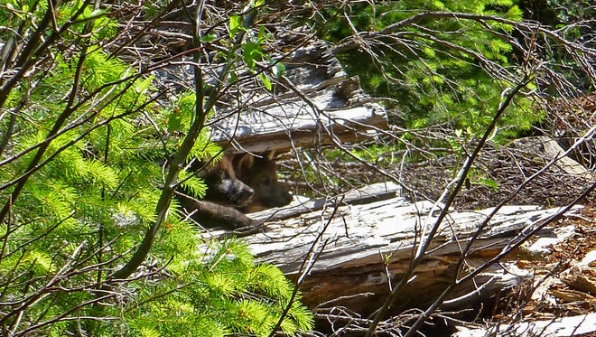 Two of wolf OR7'??s pups peak out from a log on the Rogue River-Siskiyou National Forest, June 2, 2014.