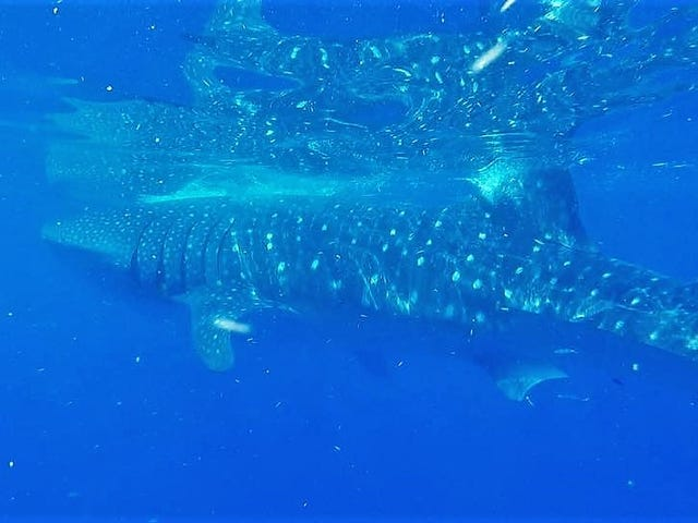 25 foot whale shark spotted 2 miles off breakers hotel in palm beach altavistaventures Image collections