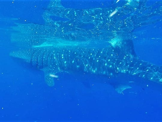 A whale shark, estimated at 25 feet in length by Tony