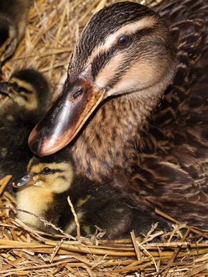 A Michigan duck named Baby Girl is the first duck to win the Miss Flock-Tobercontest sponsored by Purina Poultry.