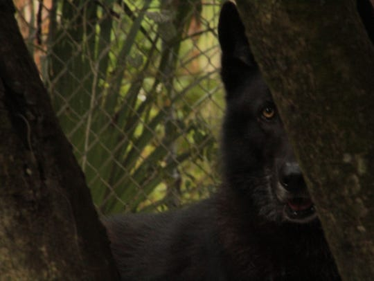 One of the wolves housed with Jena, Lakota, peaks out