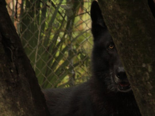 One of the wolves housed with Jena, Lakota, peaks out from behind a tree.