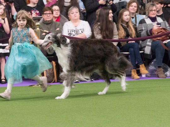 Raina McCloskey, 7, from Peach Bottom Township, shows Briar, a borzoi, during the 141st Westminster Kennel Club Dog Show.