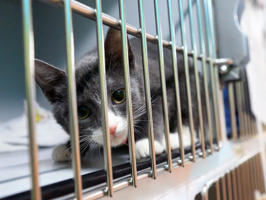 Socks waits in a kennel before getting spayed and neutered