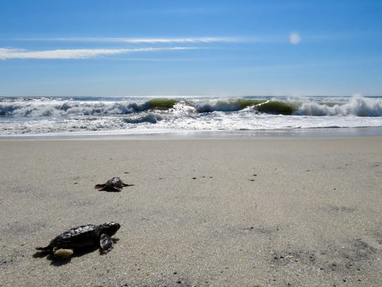 Sea turtle hatchlings head out into the Atlantic Ocean