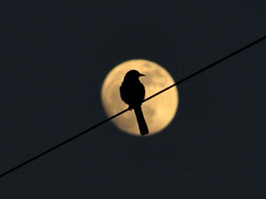 A bird is perched on a wire as the full moon rises Tuesday evening in Bremerton. (LARRY STEAGALL / KITSAP SUN)