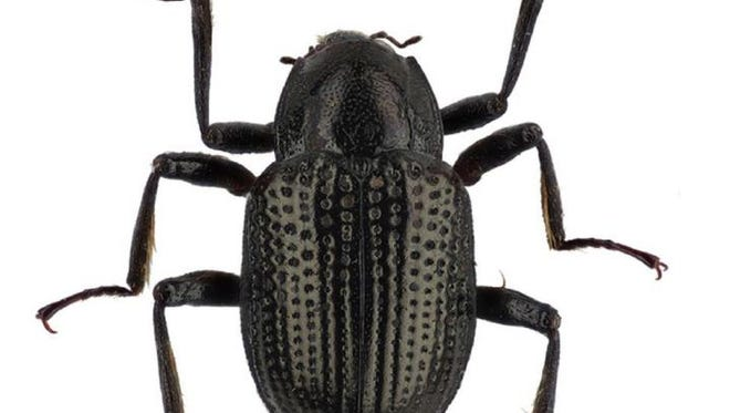 The new species of beetle has been named Grouvellinus leonardodicaprioi after the actor.