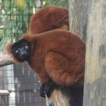 The new red ruffed lemurs may become parents as early as May.
