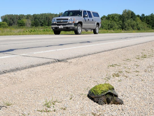 A snapping turtle crawls along a highway shoulder looking