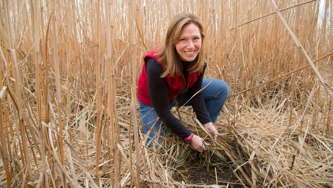 Emily Heaton, Associate Professor of Agronomy at Iowa State University, checks a field of a perennial grass called Miscanthus x giganteus Friday, Dec. 11, 2015. The grass can be burned with coal in power plants.