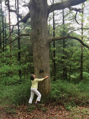 This red oak, one of the items on the Ice Lake scavenger hunt list, is likely 250 to 275 years old.