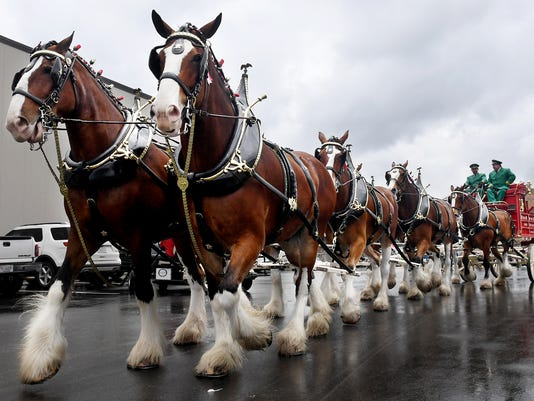 636603543552426112-JS-0426-Clydesdales-09.jpg