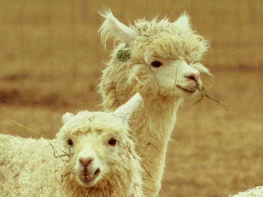 Alpacas will be featured at Michigan's Adventure's new petting zoo.
