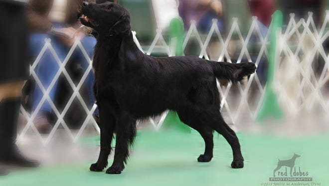 Prince Charming, a 5-year-old flat-coated retriever, will compete in the annual Westminster Kennel Club All Breed Dog Show in New York City next week. He's owned by Frazeysburg residents Maria and Mitch White.
