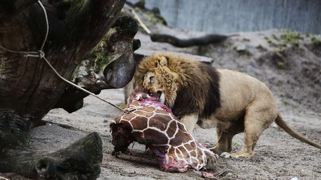 The lions in Copenhagen Zoo eat the remains of a giraffe named Marius.