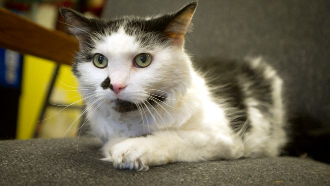 Mischief is a domestic long hair, female, spayed, 16-year-old cat. Loves to cuddle and gets along with other cats.