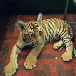 A tiger cub was found wandering around a California neighborhood on Tuesday.