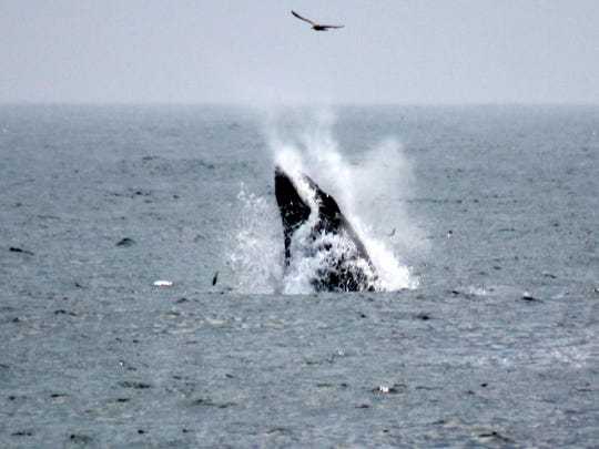A whale - which onlookers said was a humpback - is seen feeding on baitfish off Pt. Pleasant Beach.