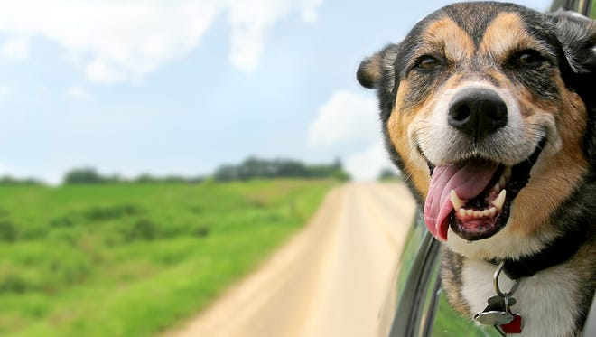 A German Shepherd mix breed dog hangs out of the car window during a ride.