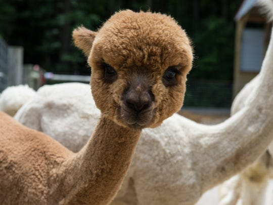 Pumpkin, a young alpaca, stands among other alpacas at TaCaCo Alpaca farm in Laurel on Tuesday, June 20, 2017.