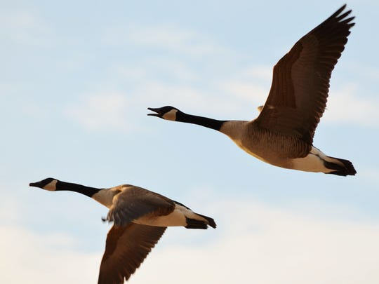 A pair of flying Canada geese can always turn heads.