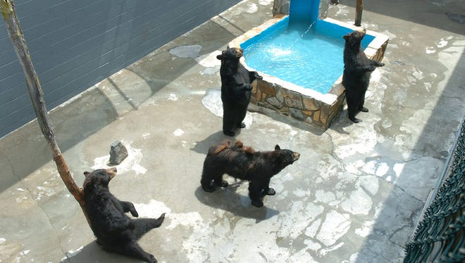 Bears wait for food to be thrown by visitors at the Cherokee Bear Zoo in downtown Cherokee. A lawsuit alleges the mistreatment of the bears.